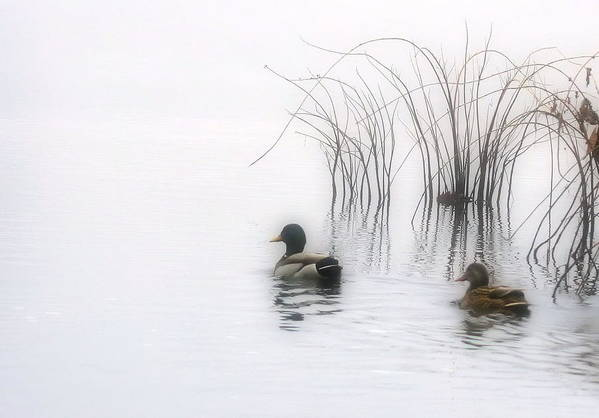 Ducks Art Print featuring the photograph Serene Moments by Karol Livote
