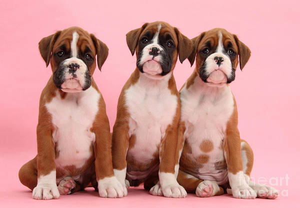Nature Art Print featuring the photograph Three Boxer Puppies by Mark Taylor