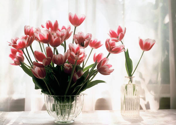 Still-life; Tulips; Flower; Vase; Interior; Pink; White; Floral Art Print featuring the painting Tulip by Jeanette Korab