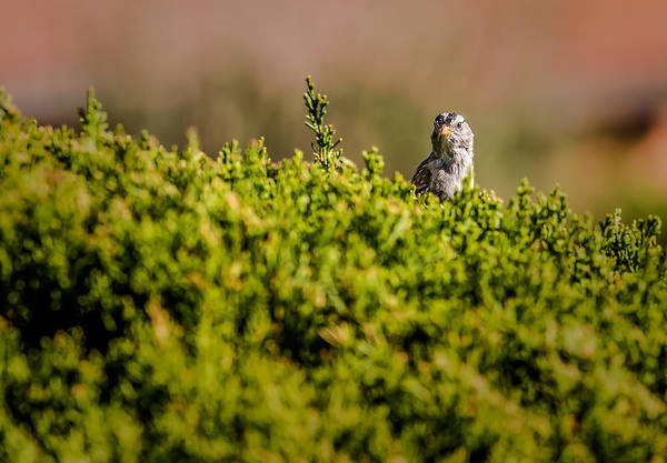 White-crowned Sparrow Art Print featuring the photograph White-crowned Sparrow In A Bush by Onyonet Photo Studios