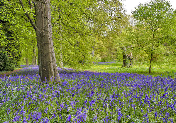 Woodland Art Print featuring the photograph Woodland Walk In Blue by Trevor Kersley