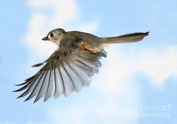 Songbirds Print featuring the photograph Tufted Titmouse In Flight by Ted Kinsman
