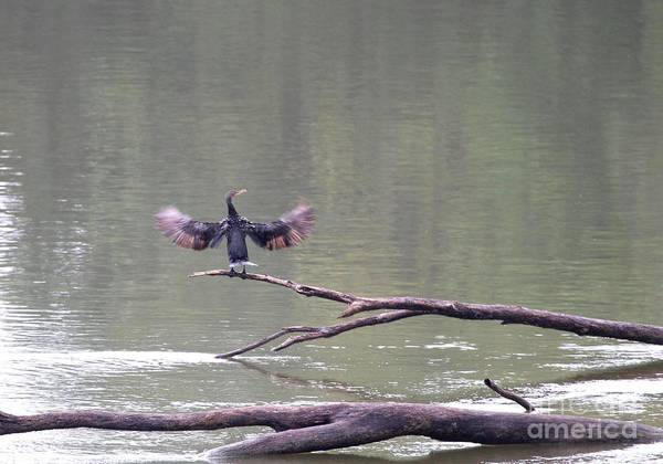 Nature Art Print featuring the photograph Double-crested Cormorant by Jack R Brock