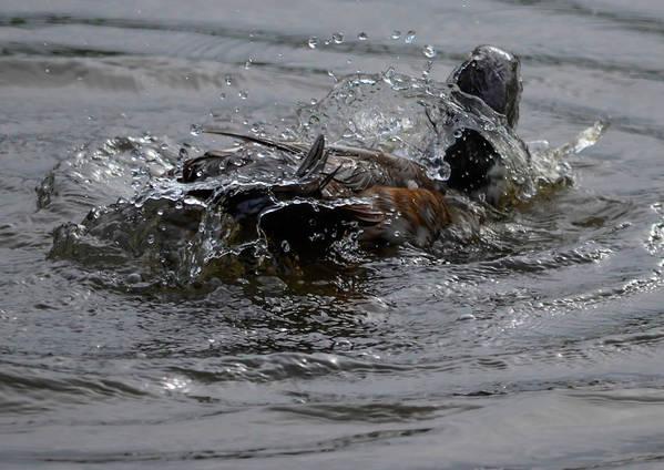Art Print featuring the photograph Duck Bath by Brian Stevens