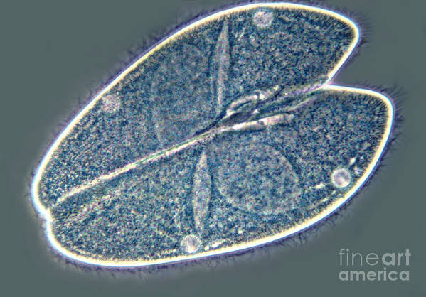 Light Microscopy Art Print featuring the photograph Paramecium by M. I. Walker