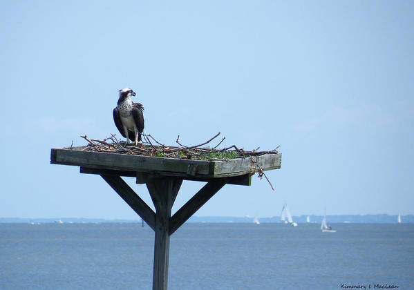 a Boat Watching Osprey Art Print featuring the photograph A Boat Watching Osprey by Kimmary MacLean