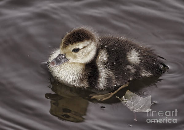 Duckling Art Print featuring the photograph All By Myself by Deborah Benoit