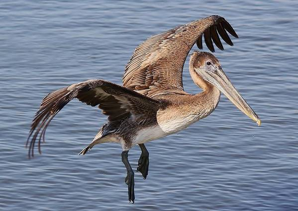 Brown Pelican Art Print featuring the photograph Brown Pelican In Flight by Paulette Thomas