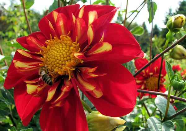 Oregon Art Print featuring the photograph Dahlia Make My Day 1 by Lora Fisher
