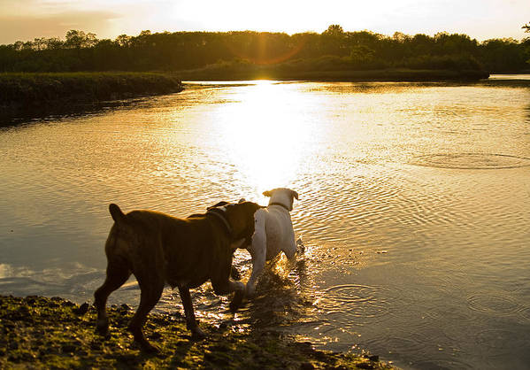 Boxer Art Print featuring the photograph Dogs At Sunset by Stephanie McDowell