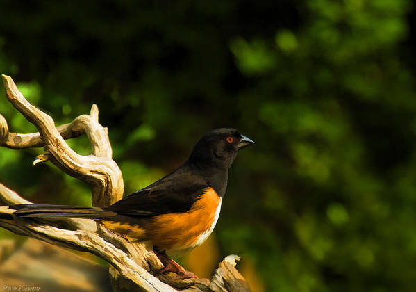 Eastern Towhee Art Print featuring the painting Eastern Towhee by Steven Richardson