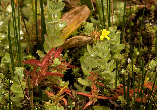 Ludwigia Palustris Art Print featuring the photograph Hampshire Purslane (ludwigia Palustris) by Bob Gibbons