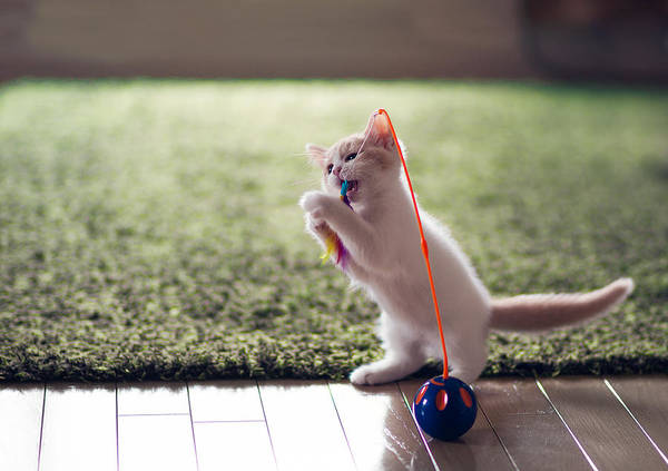 Horizontal Art Print featuring the photograph Kitten Catches Feather Toy by Benjamin Torode