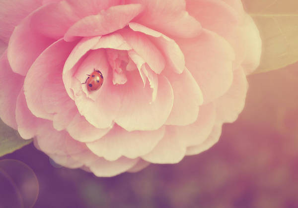 Horizontal Art Print featuring the photograph Ladybird On Camellia by Photo - Lyn Randle