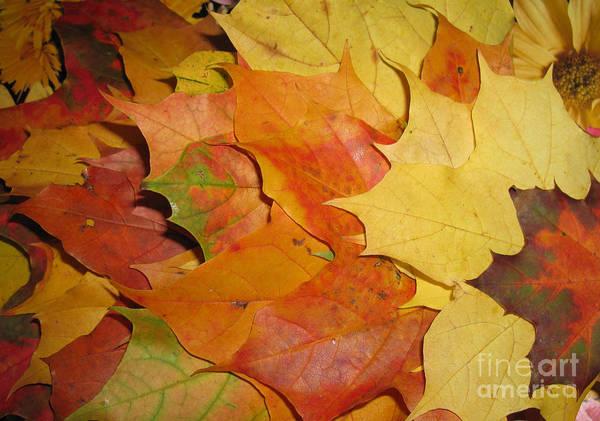 Fall Art Print featuring the photograph Maple Rainbow by Ausra Huntington nee Paulauskaite