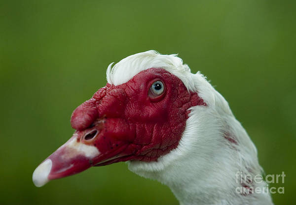 Duck Art Print featuring the photograph Muscovy Duck Canard Muscovy by Nicole Cloutier Photographie Evolution Photography