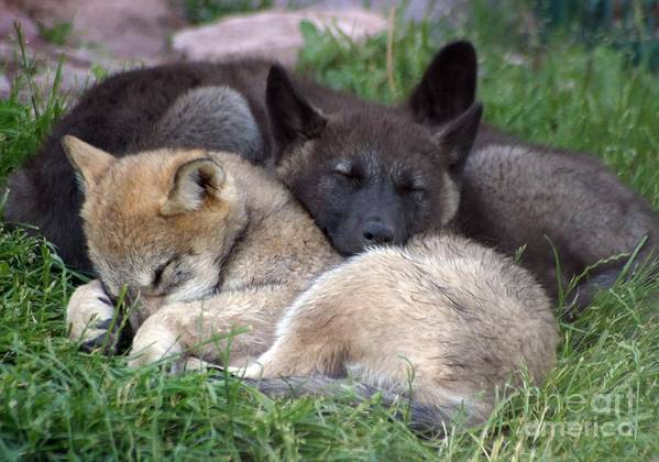 Coyotes Art Print featuring the photograph Slumber Buddies by Living Color Photography Lorraine Lynch