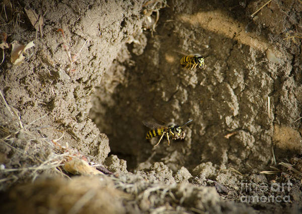 Wasp Art Print featuring the photograph Spring Cleaning Pair Of Wasps Carrying Mud From A Yellow-jacket Wasps Nest by Andy Smy
