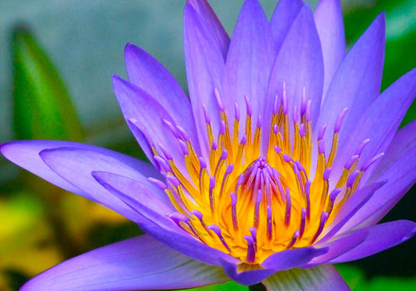 Flowers Art Print featuring the photograph Thai Colours by Lyle Barker