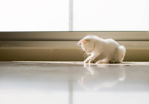 Horizontal Art Print featuring the photograph White Cat Playing On The Floor by Jose Torralba