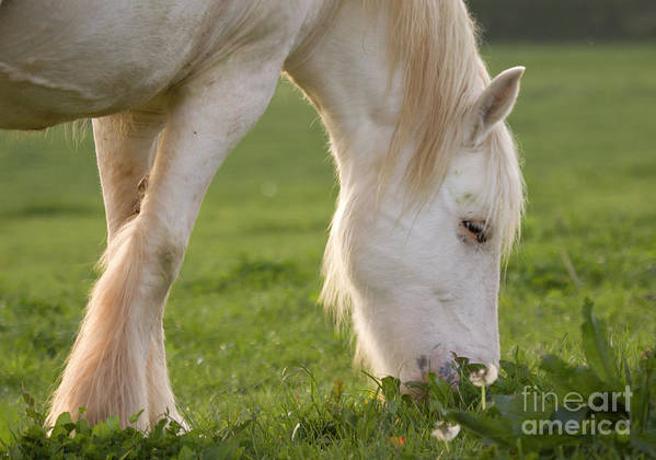 Horse Art Print featuring the photograph White Horse by Angel Ciesniarska