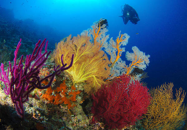 Anthozoa Art Print featuring the photograph A Diver Looks On At A Colorful Reef by Steve Jones