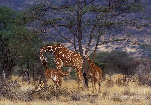Giraffe Art Print featuring the photograph A Tender Moment by Sandra Bronstein