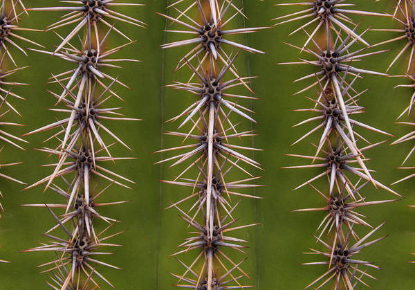Arizona Art Print featuring the photograph Cactus Spines by Steve Wile