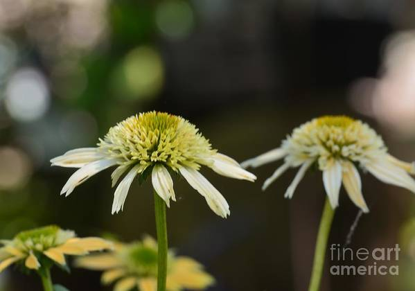 Coconut Lime Echinacea Art Print featuring the photograph Coconut Lime Echinacea by Maria Urso