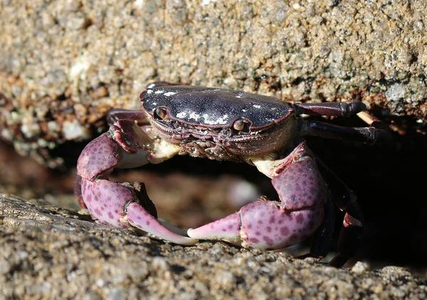 Crab Art Print featuring the photograph Crab 2 by Christy Pooschke