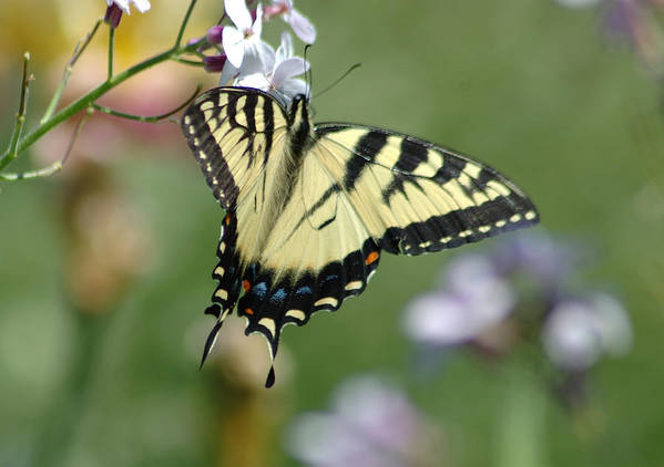 Butterfly Art Print featuring the photograph Delicate Balance by Linda Murphy