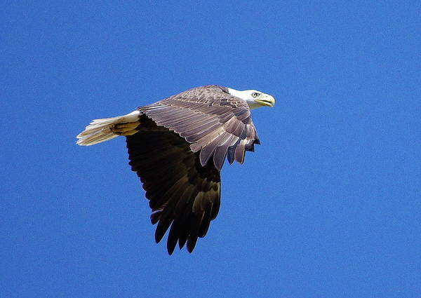 Eagle Art Print featuring the photograph Eagle In Flight by Don Youngclaus