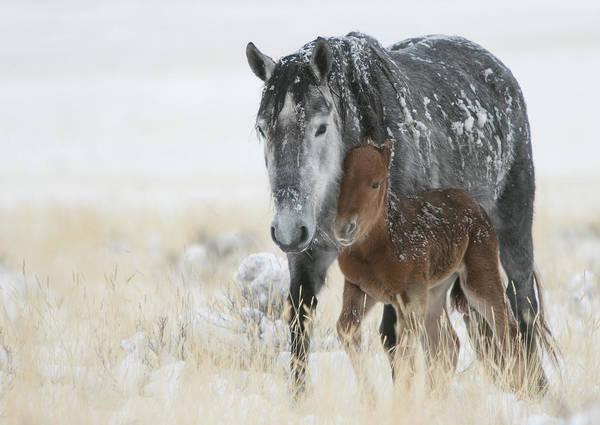 Horse Art Print featuring the photograph February Colt by Kent Keller