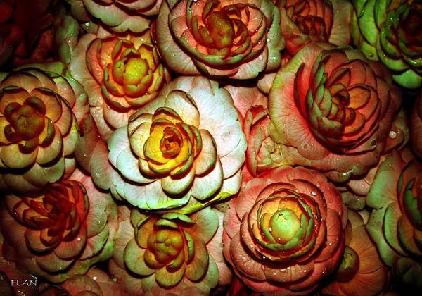 Roses Art Print featuring the photograph Flowers by Ruben Flanagan
