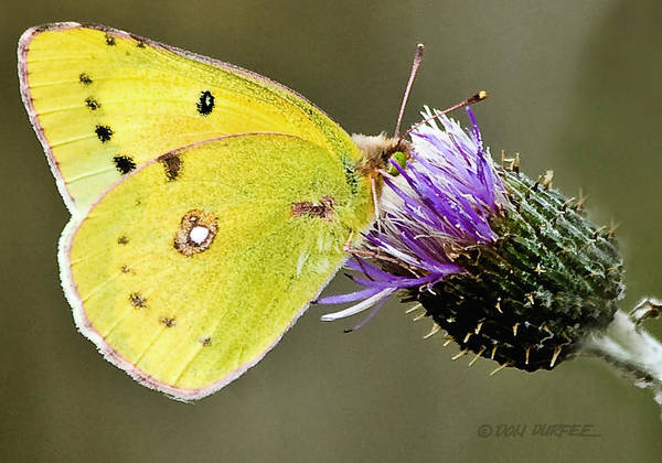Butterfly Art Print featuring the photograph Little Yellow On Bullthistle by Don Durfee
