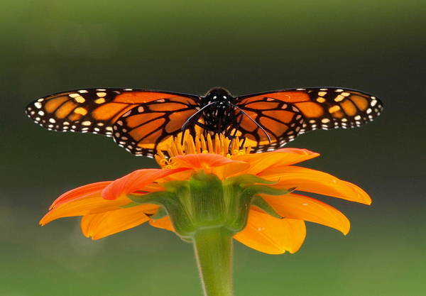 Monarch Art Print featuring the photograph Monarch Orange by Peter Gray
