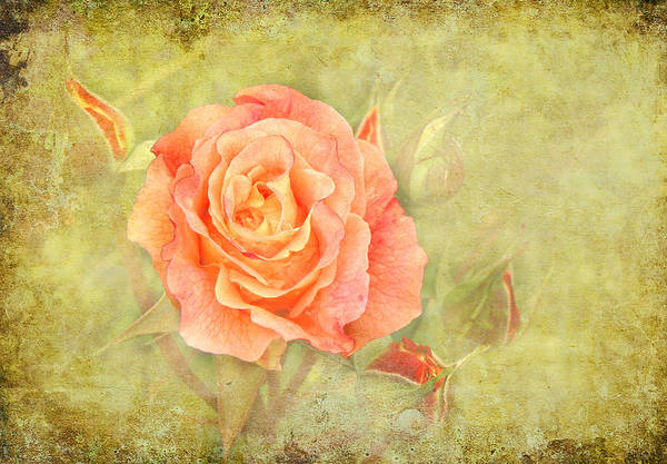 Flower Art Print featuring the photograph Orange Rose With Old Paint Texture Background by Vesela Yokova