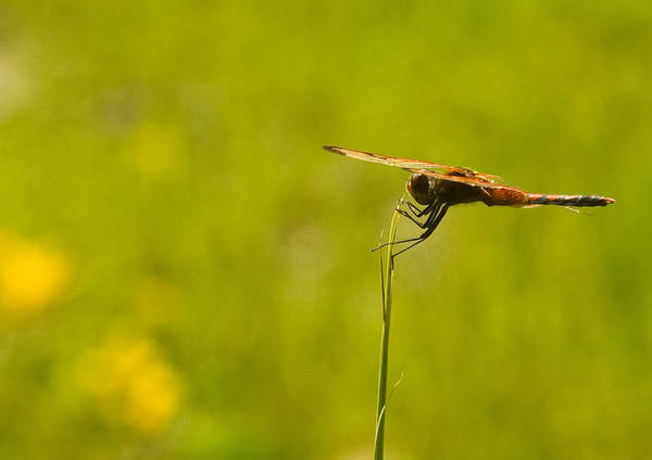 Dragonfly Art Print featuring the photograph Ready For Flight by Douglas Barnett