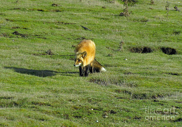 Fox Art Print featuring the photograph Red Fox by Louise Magno