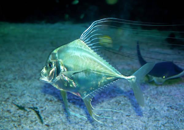 Aqua Art Print featuring the photograph Silver Fish by Svetlana Sewell