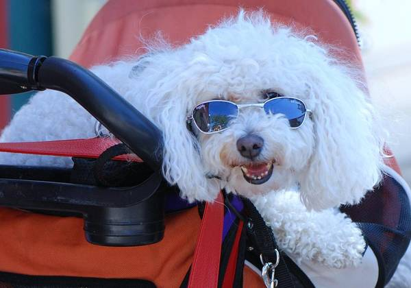 Poodle With Sunglasses Art Print featuring the photograph Soaking Up The Sun by Lisa DiFruscio