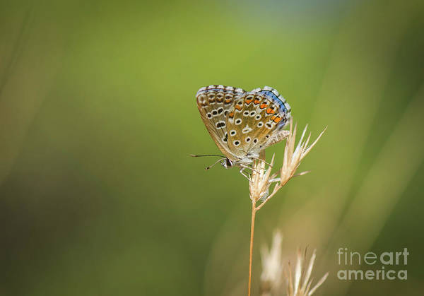 Close Up Art Print featuring the photograph Summer, Adonis Blue Butterfly, Polyommatus Bellargus Basking In Sun. Andalusia, Spain. by Perry Van Munster
