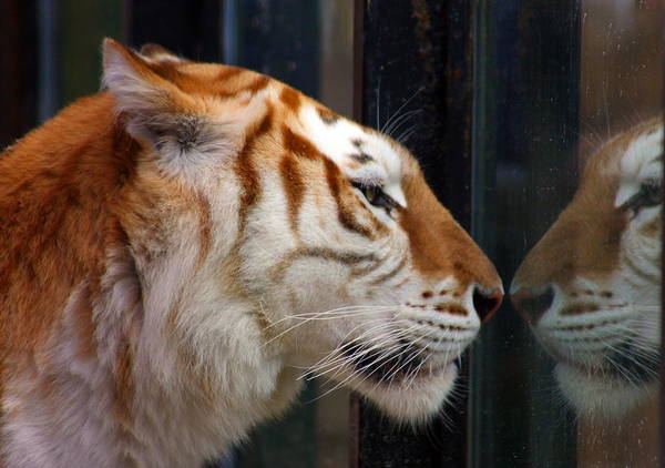 Tiger Art Print featuring the photograph Trapped by Jason Hochman