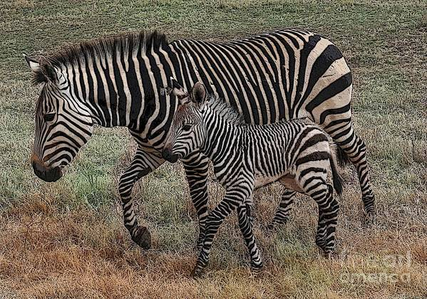 Zebra Art Print featuring the photograph Two Of A Kind by David Carter