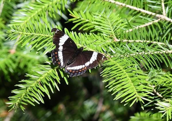 Butterflies. White Admiral Art Print featuring the photograph White Admiral On Tree by Hella Buchheim