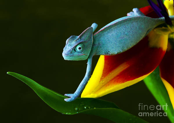 Image Art Print featuring the photograph Chameleons Belong To One Of The Best by Sebastian Duda