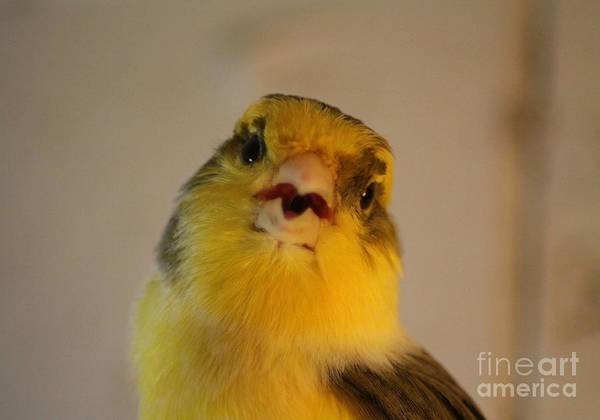 Canary Art Print featuring the photograph Singing Canary by Mrsroadrunner Photography