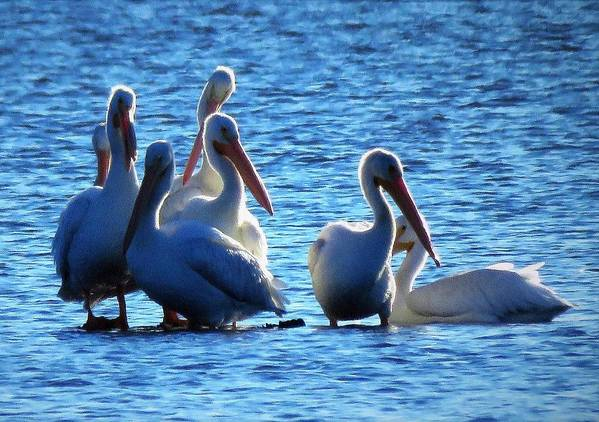 Pelicans Art Print featuring the photograph White Pelicans In Blue by Lori Frisch