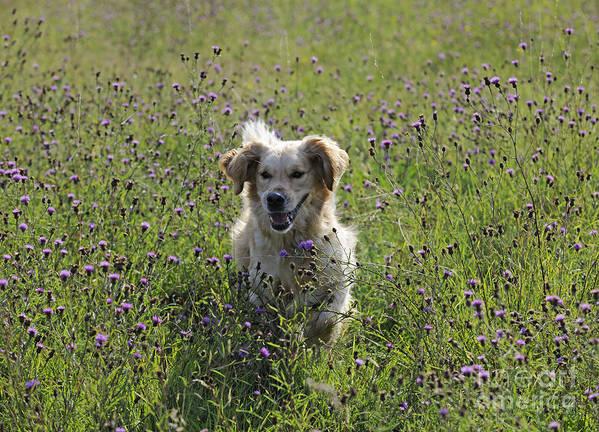 Golden Retriever Art Print featuring the photograph Golden Retriever Dog by John Daniels