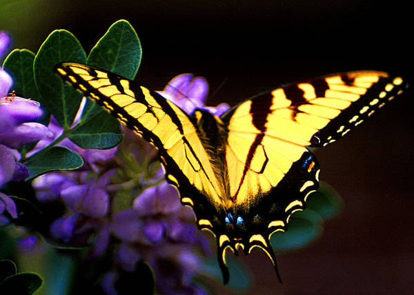 Butterflies Art Print featuring the photograph Monarch On Mountain Laurel by Jim Smith